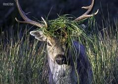 Fallow Deer Buck (David R Hart) Tags: davidhart nikond850 afsnikkor200500mmf56edvr fallowdeer buck nationaltrust dunhammassey manchester cheshire england deer mammal nature