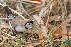 Double-barred Finch (petefeats) Tags: australia birds brisbane doublebarredfinch estrildidae nature oxleycommon passeriformes queensland taeniopygiabichenovii