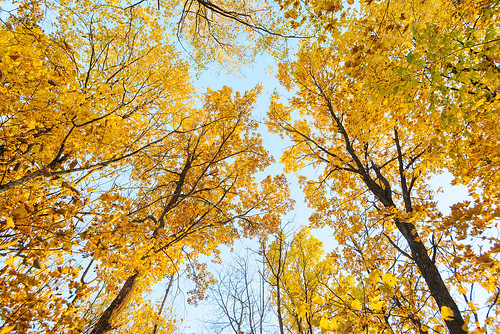 Golden crowns of trees.