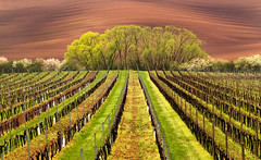 Vines in Vineyard (Darekdarecky) Tags: landscape agriculture fields colours vineyard springtime plantation trees grass