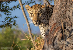 peek-a-boo (Dwood Photography) Tags: peekaboo dwoodphotography dwoodphotographycom wildlife leopard yellow gold golden tree africa safari 2018 blue green
