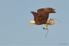 Bald Eagle (TomLamb47) Tags: nature wildlife bird baea bald eagle flight bif branch material canon 1d4 100400mm nest