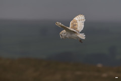 Braving the rain (davidrhall1234) Tags: barnowltytoalba barnowl owl yorkshire dales birdsofprey beak birdsofbritain bird birds countryside hunting flight falconry feather outdoors predator nature nikon wildlife world