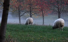 ... and a sea of mist (:Linda:) Tags: germany thuringia village bürden mist row tree sheep two four meadow