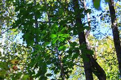 Summer Green (tripod_treker) Tags: oak oaktree redoak forest leaves green woods