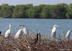 Egrets - Negombo Lagoon - Negombo Sri Lanka (WanderingPJB) Tags: accumulation flickruploaded srilanka negombo birds egrets lagoon lake
