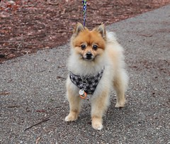 Roco (Webfoot5) Tags: dog dogs dogsonwalks dogzonwalkz pomeranian