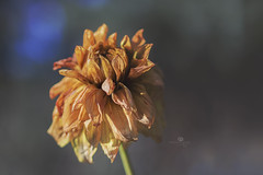 updo (rockinmonique) Tags: stalbertbotanicgarden dried old flower bloom blossom petal fall autumn macro light bokeh gold yellow blue moniquewphotography canon canont6s tamron tamron45mm copyright2018moniquewphotography