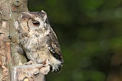 Indian Scops Owl - Otus bakkamoena (Roger Wasley) Tags: indian scops owl otusbakkamoena owls birdofprey birds asia india