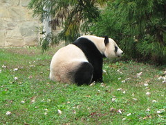 2018_11-01zb (gkoo19681) Tags: meixiang beautifulmama sopretty proudmama adorableears fuzzywuzzy patientlywaiting treattime toocute adorable amazing perfection meltinghearts precious youngatheart ccncby nationalzoo