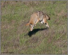 Hit 4466 (maguire33@verizon.net) Tags: pointreyesnationalseashore coyote wildlife