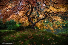 Tree on Fire (Matt Straite Photography) Tags: tree portland japanese japanesemaple maple color oreange fall autumn tripod landscape