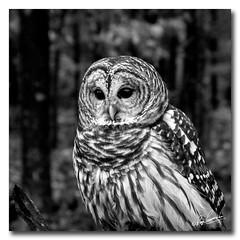 Barred Owl in B/W.... (Roger Photos) Tags: bird owl barredowl raptor