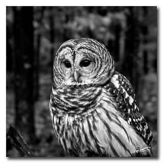 Barred Owl in B/W....
