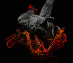 A Most Beautiful Death (DocktorGonzoPhotography) Tags: flower dead death dark black orange petals colors beautiful trippy psychedelic psychedlia psychedlical acid shrooms lsd flash exposure canon macro macrolens macroshot macrophoto flowerphoto flowerphotography flowers stem nature life