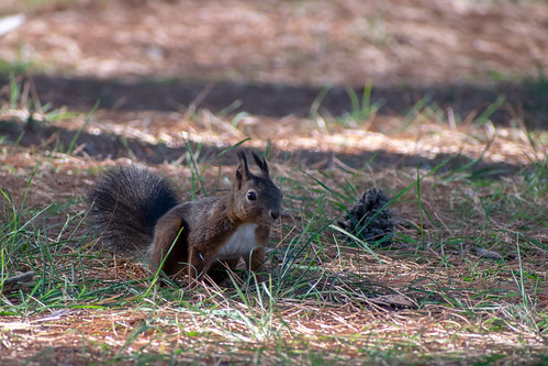 Veverica / squirrel