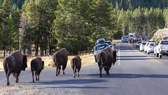 2018-09-trip-3-yellowstone-4-wildlife-mjl-20 (Mike Legeros) Tags: wyoming yellowstone nationalpark bison bisonjam buffaloroam