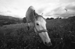 Kalici (Felipe Cárdenas-Támara) Tags: caballos kalici leica animales