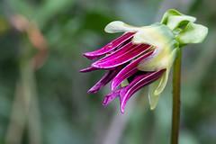 Dahlia (jeff's pixels) Tags: bellevuebotanicalgarden garden botanical outdoors nature flower petals nikon d850 macro photo bird bus train