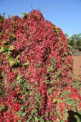 DSC_1897 (PeaTJay) Tags: nikond750 reading lowerearley berkshire gardens outdoors nature flora fauna plants flowers trees shrubs bushes foliage