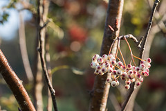 Sorbus forrestii (Sara@Shotley) Tags: sorbus botanical garden ness wirral cheshire berries fruit autumn fall bokeh canon