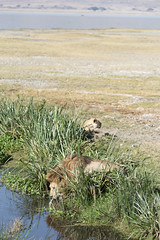 Male lion goes for a drink as a female watches nearby (RedPlanetClaire) Tags: eastafrica tanzania nationalpark safari african ngorongorocrater worldheritagesite conservationarea wildlife wild animal lion lions lioness big cat feline water stream drinking