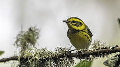 Townsend's Warbler (Bob Gunderson) Tags: birds california goldengatepark middlelake northerncalifornia sanfrancisco setophagatownsendi townsendswarbler warblers woodwarblers