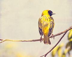 Wild Bird (Daniela 59) Tags: sliderssunday workingwithtextures 52in2018challenge 21abirdinthewild bird southernmaskedweaver nature namibia danielaruppel