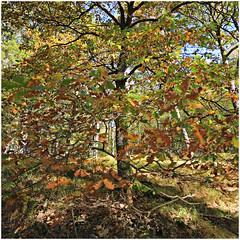 gileppe 1 (beauty of all things) Tags: belgien belgium jalhay gileppe hohesvenn autumn herbst leaves blätter quadratisch trees bäume