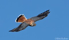 Adult Male American Kestrel (Northern) (Mitch Vanbeekum Photography) Tags: americankestrel northern kestrel male inflight flying flight fly statelinelookout alpine nj newjersey blue sky mitchvanbeekum mitchvanbeekumcom canon14teleconvertermkiii canoneos1dx canonef500mmf4lisiiusm falcosparverius adult