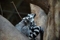 Two Ring-Tailed Lemurs (Rackelh) Tags: lemur ringtailedlemur animal animals mammal primate zoo toronto ontario canada