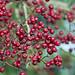 Autumn berries - Culm River, Cullompton, Devon - Oct 2018