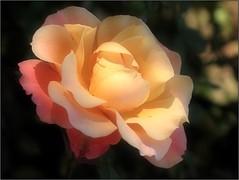 (Tölgyesi Kata) Tags: nemzetibotanikuskert vácrátótibotanikuskert botanikuskert botanicalgarden withcanonpowershota620 vácrátót ősz rosen rosa rose rózsa flower fleur virág autumn herbst