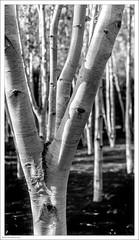 Silver Birch 297/365 (John Penberthy ARPS) Tags: garden trees 3652018 d750 nikon monochrome day297365 365the2018edition nationaltrust 24oct18 mono silverbirch cambridge blackandwhite angleseyabbey johnpenberthy