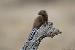 Dwarf Mongoose (leendert3) Tags: leonmolenaar southafrica krugernationalpark wildlife nature mammals dwarfmongoose ngc specanimal photo day npc specanimaliconofthemonth coth5