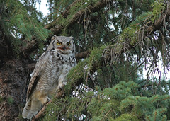 Great Horned Owl...#6 (Guy Lichter Photography - 4.2M views Thank you) Tags: owlgreathorned canon 5d3 canada manitoba winnipeg wildlife animal animals bird birds owl owls