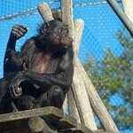 Bonobo thumbnail