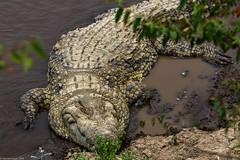 Maasai Mara_13sep18_02_Croco (Valentin Groza) Tags: maasai mara kenya africa safari wildlife crocodil nil nile crocodile river