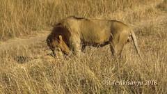 Is This Why The Lion Is King Of The Jungle! (AliasTheGroove) Tags: lion lions bigcats cats wildlife wildanimals africa kenya maasaimara maasaimaragamereserve safari makinglove