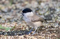 Marsh Tit - Barnwell Country Park, Oundle, Northants. UK (Ian J Hicks) Tags: