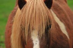Hippie (philippe.ducloux) Tags: saintpaullaroche périgord périgordvert dordogne sudouest aquitaine nature paysage animalplanet animal animals animaux cheval chevaux horse horses natureonly poney canon 6d 6dmkii canon6dmkii canonef70300mmf456isiiusm ef70300mmf456isiiusm canoneos6dmarkii ef70300mm 70300mm isusm canonef ef f456 is ii usm