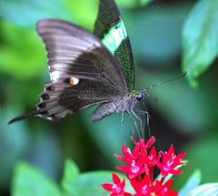 Emerald Green Swallowtail (dianne_stankiewicz) Tags: swallowtail emerald green emeraldgreenswallowtail