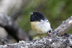 Tomtit (Alan Gutsell) Tags: tomtit tit newzealandbirds birds canon wildlife nature photo ulvaisland stewart island endemic endemictonewzealand endemicbirdsofnewzealand endanger