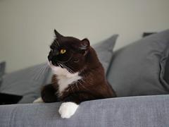 Aunt Tussi watching TV (vanstaffs) Tags: tussi tuzz tuxedocat t tux tusse tutu tuzz® myprettytuxedogirl