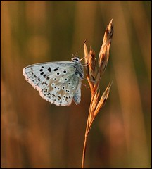 Male Chalkhill Blue - ready to roost! (glostopcat) Tags: chalkhillbluebutterfly butterfly insect invertebrate macro glos august summer butterflyconservation prestburyhillnaturereserve