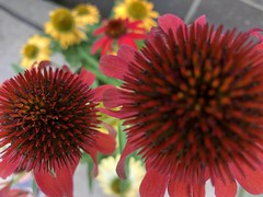 c2018 Sept 28, Red Coneflowers IPhoneography 10 (King Kong 911) Tags: coneflowers hibiscus asters purslane plants growing green petals blooming