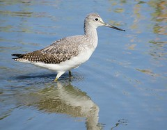 GreaterYellowlegs (Shelley Penner) Tags: vancouverisland birds shorebirds yellowlegs greater water blue speckled spotted