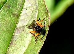 Pimpla rufipes head on 9.10.18 (ericy202) Tags: pimplsrufipes ichneumon wasp cornus dogwood leaf