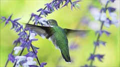 Hummingbird Slow Mo 092918 Clip 45 and 50 with music (Michael.Lee.Pics.NYC) Tags: newyork nybg newyorkbotanicalgarden rubythroatedhummingbird hummingbird bird feeding nectar salvia flower bokeh video slowmotion sony a6500 fe100400mmgm