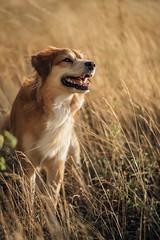 Wild Mickey (romanhrbek) Tags: mickey sony alpha a6500 85mm18 dry grass summer colours best friend smile teeth pet dog field animal eyes cross bread bokeh expression